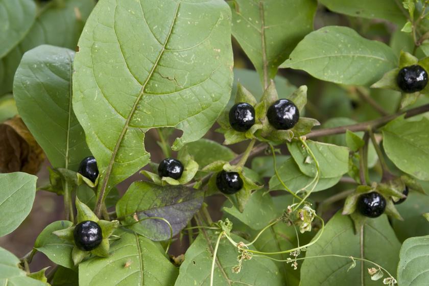 A nadragulya nagyon erős mérgező hatásáról ismert növény, különösen a bogyói veszélyesek, ha többet fogyaszt el belőle a gyermek, akár halálos is lehet, de a levél és a gyökér is toxikus. A Gödöllői-dombság területén találkozni vele többek között.