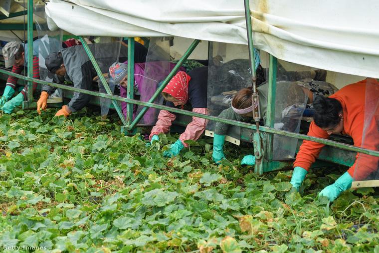 Földrajzi oltalom alatt áll például a spreewaldi uborka, amelyet tavaly így szüreteltek.