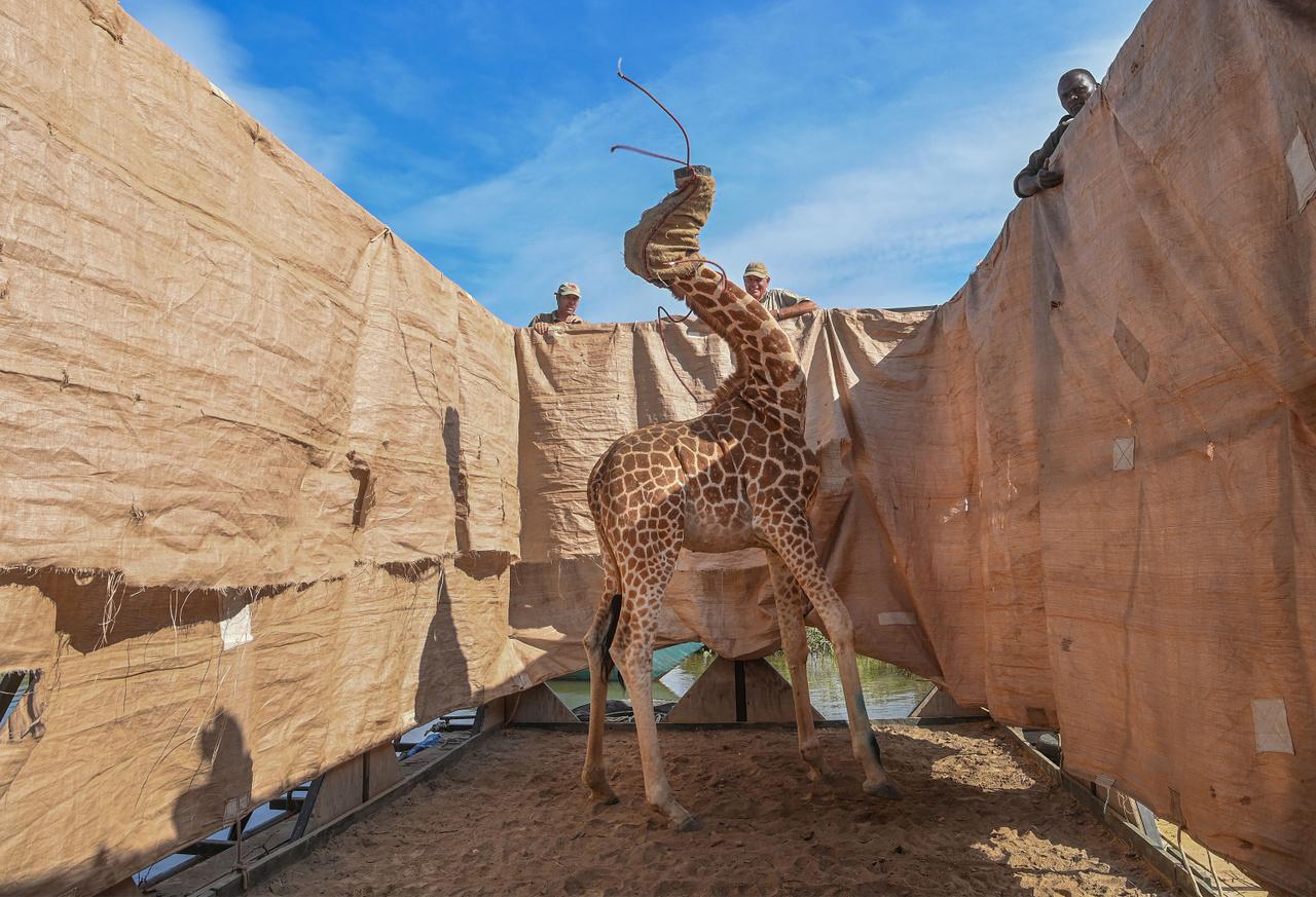 A természet (egyedi) kategóriában első helyezett Ami Vitale fotójának címe a Zsiráfok kimentése az elárasztott szigetről. A képen egy úgynevezett Rotschild-zsiráf látható, ez az alfaj a legmagasabb zsiráfok közé tartozik, akár hat méteres magasságot is elérhet. A kenyai Baringo tavon a heves esőzések miatt szigetté vált partszakaszról kilenc zsiráfot mentettek ki.