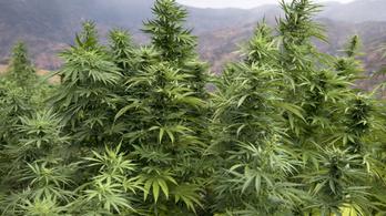 Valakinek elrontották a buliját, öt tonna marihuánát foglaltak le Marokkóban a rendőrök