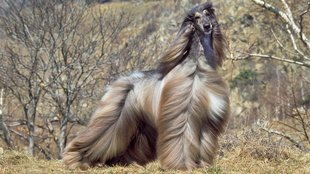 7 különleges nagytestű kutyafajta: utánuk biztosan megfordulnál!