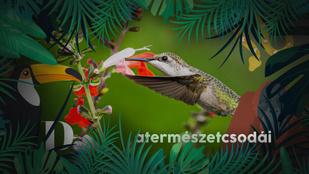 A világ legkisebb madara körömnyi méretű, de simán halálra szurkál bárkit, aki felidegesíti