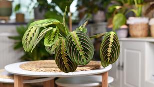Legkedveltebb szobanövényeink a nyílgyökérfélék: így gondozd őket
