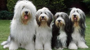 Eltűnhetnek Nagy-Britannia legkedveltebb kutyái