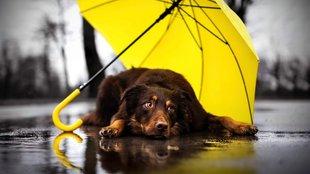 Így nem áznak el az esőben: már kutyáknak is készítenek esernyőt