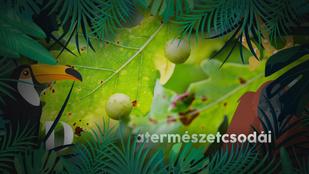 Mik azok a furcsa golyók a fák és bokrok levelein?