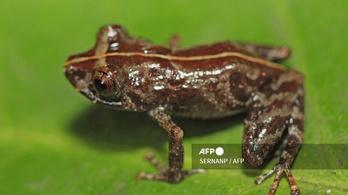 Újabb békafajt fedeztek fel Peruban