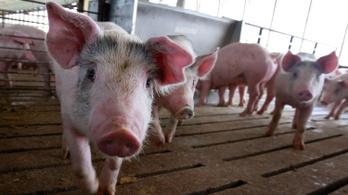 Újabb 25 ezer disznót ölnek le Romániában az afrikai sertéspestis miatt.