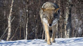 Vége a farkasvadászatnak Szlovákiában