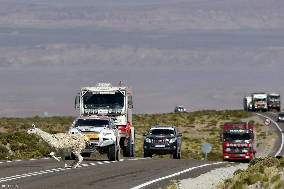 Rémült alpakka szalad át az úton a nyitószakaszra igyekvő járművek előtt Peruban.