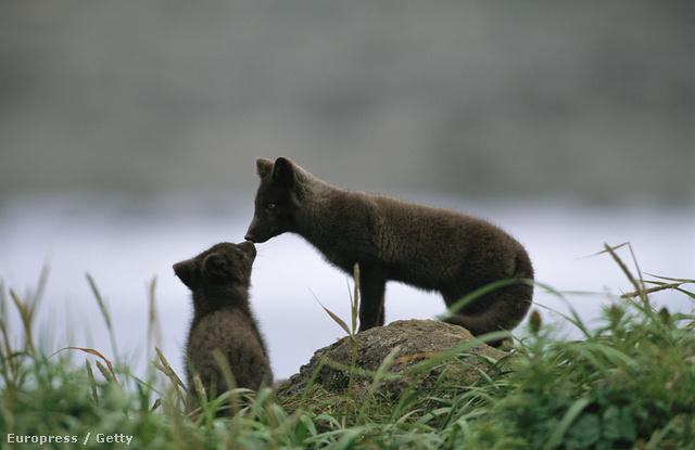 A sarki rókák is rosszul járnak