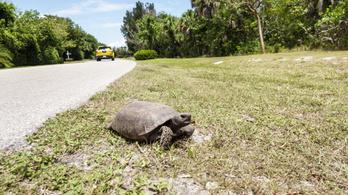 Szélvédőn át támadnak a teknősbékák Floridában