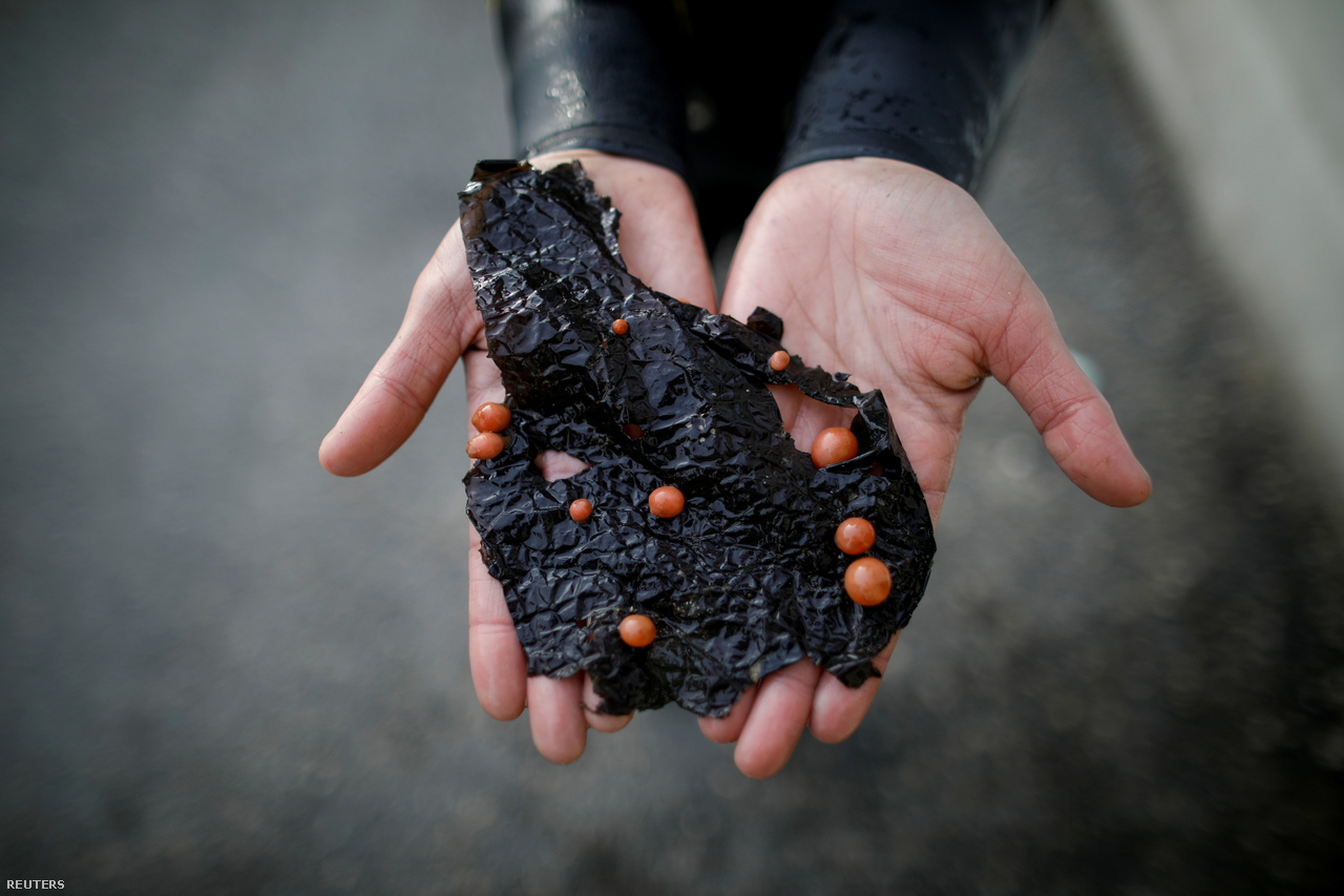 A 35 éves Vu mutatja ezt a műanyag zacskót, amin már megtelepedtek a csigák.                         2021. március 31., Kodzse szigete.