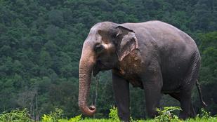 Miért hosszú az elefánt ormánya?