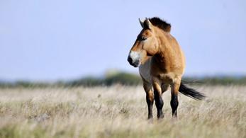 Új karám épül a Przsevalszkij-lovaknak Prágában