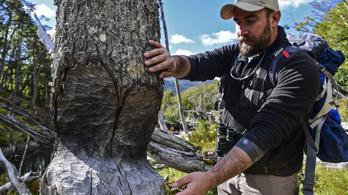 A favágóktól megmenekültek, a hódoktól nem