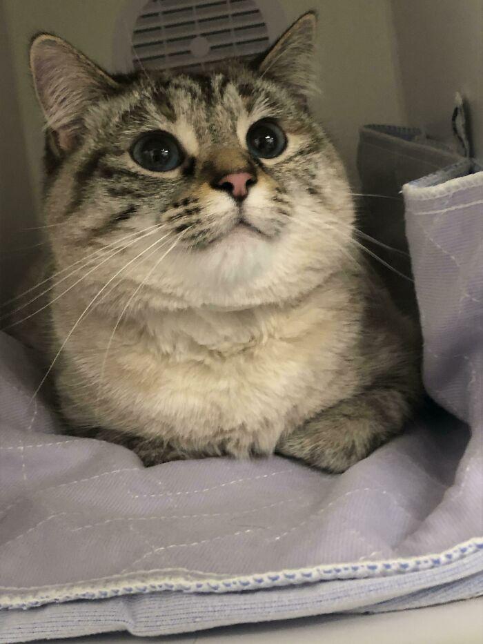 A cica igazi hős volt, hiszen nyugodtan viselte a véradást, amivel megmentette egy másik macska életét.