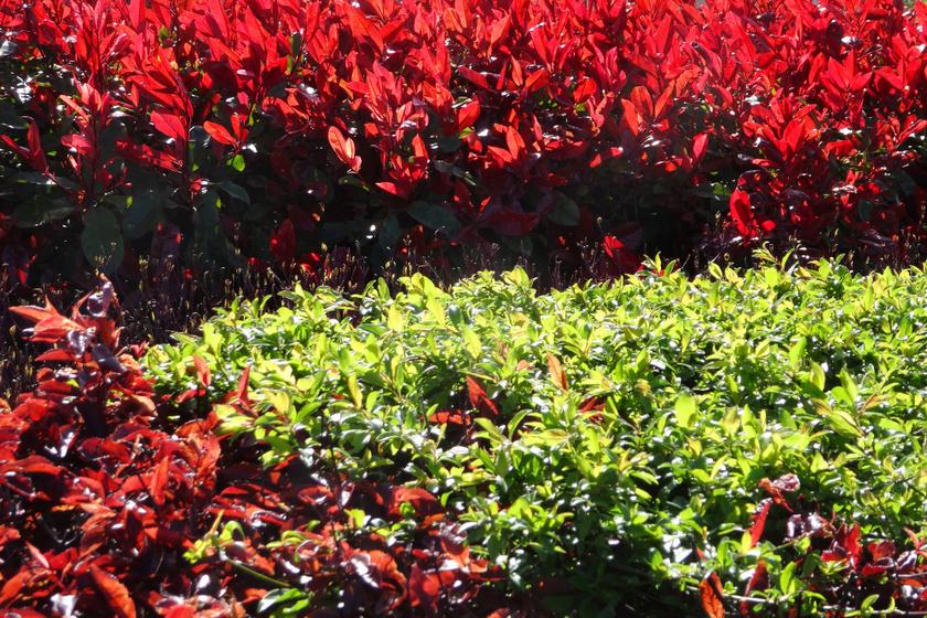 8 dekoratív, dúsan zöldellő sövény a kertbe: Megyeri Szabolcs kertész az ültetéshez is adott tippeket