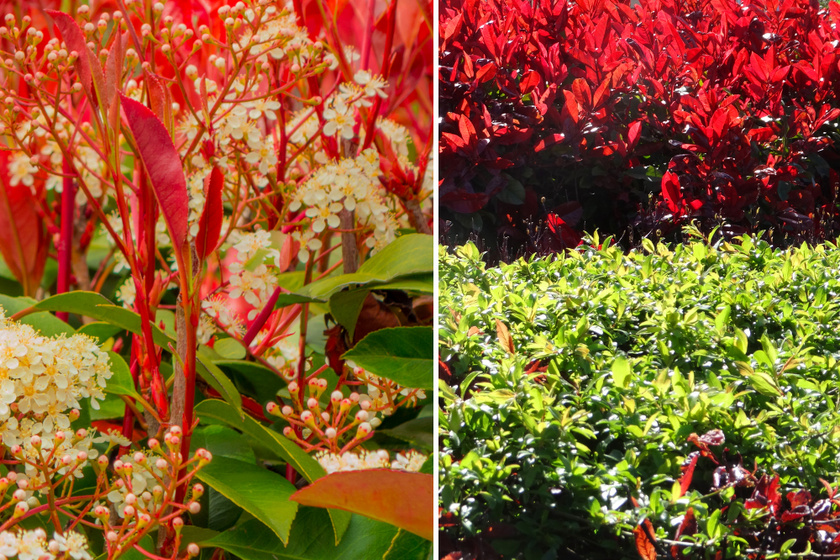 A korallberkenye (Photinia x fraseri corallina) csodája, hogy megjelenése az évszakokkal együtt változik. Lombja az év korai szakaszában vöröses, később élénkzöldre vált, a tavasz végén megjelenő bugás virágzat fehér, és télen is megtartja leveleit. Nyírt sövényként is alkalmazhatod, de egyszerűen díszként is ültetheted.
