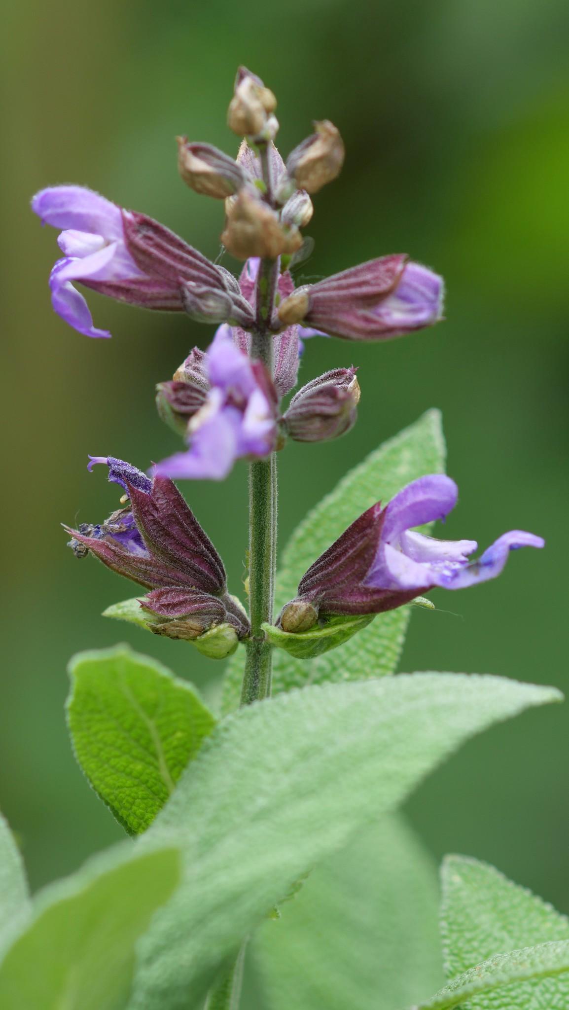 Szép lila virágjai vannak a képen látható növénynek: ehető vagy mérgező?