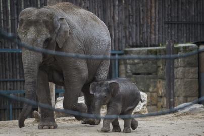 újszülött-elefánt2