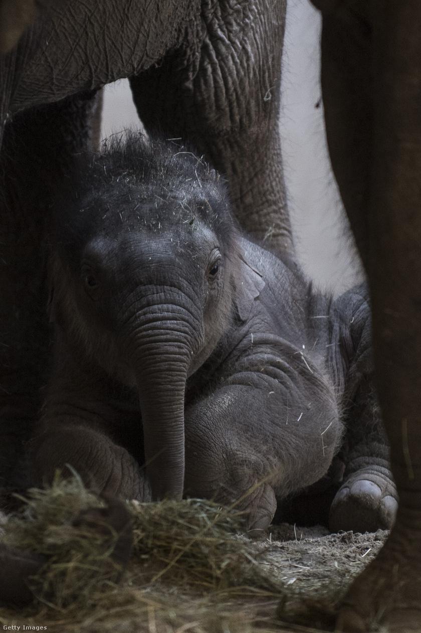 újszülött-elefánt1