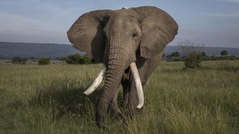 A kakaó miatt vészesen fogy az elefánt Elefántcsontparton