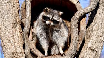 Salamon, a mosómedve a hónap állata Budakeszin