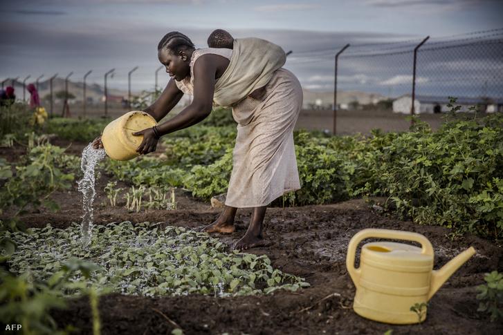 Egy dél-szudáni menekült gyermekét cipelve locsolja meg zöldség-ültetvényeit a kenyai Turkana megyében menekültek számára létrehozott településen, Kalobeyei-en. Kalobeyei egy kibővítése a kakumai menekülttábornak.