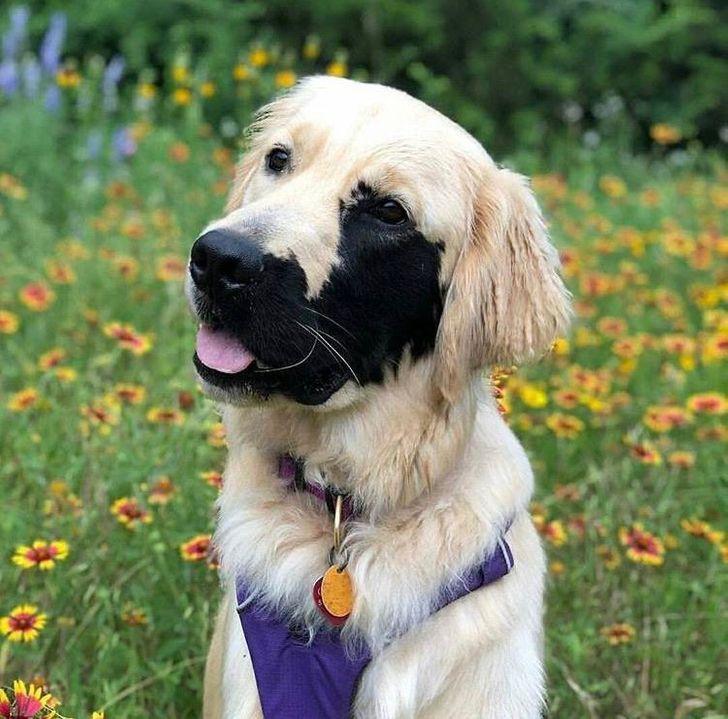 A kutya egy ritka betegséggel született, ami miatt az arca egyik fele sötét színű - ám pont ettől lesz olyan különleges a megjelenése.