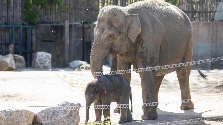 Nyolcvankilós újszülött az állatkert sztárja