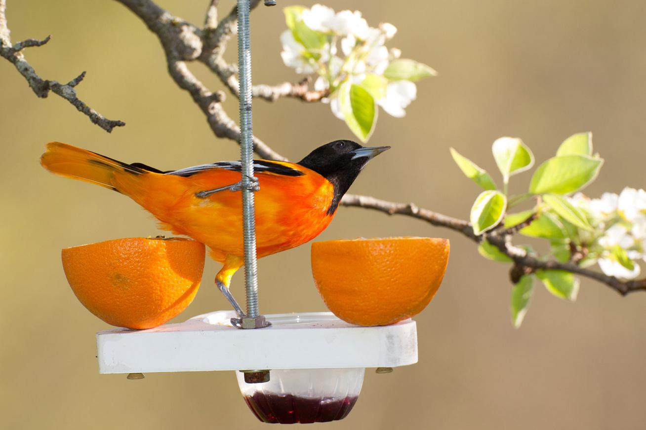 narancstrupial-madar