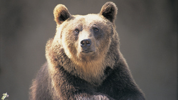 Csak óvatosan, medve járkálhat Diósjenőn