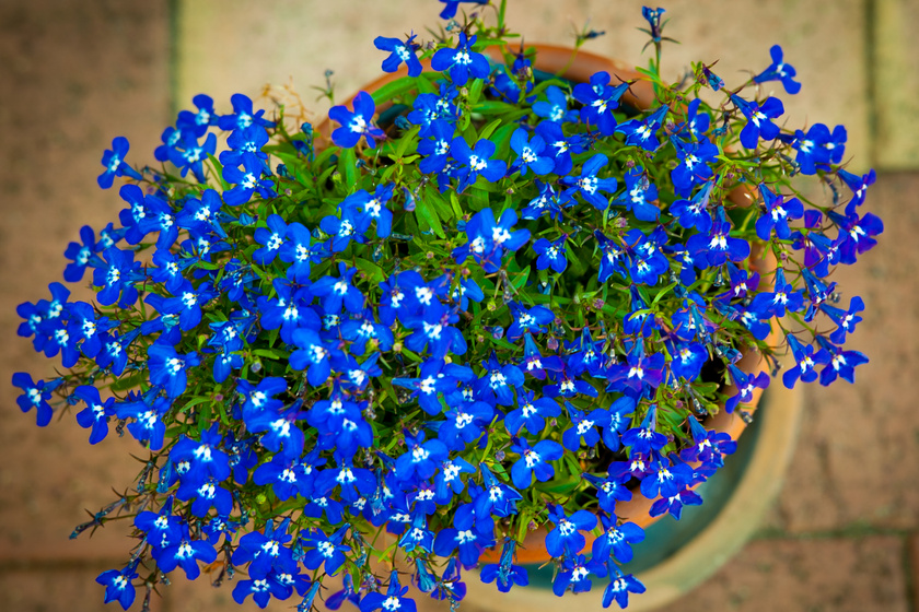 A lobélia (Lobelia) kék vagy lila virágzata szemet gyönyörködtető. Futó, illetve terülő növekedésű növény. Vízigénye közepes, azonban tápanyagigénye magas, ezért rendszeres tápanyagpótlásra van szüksége.