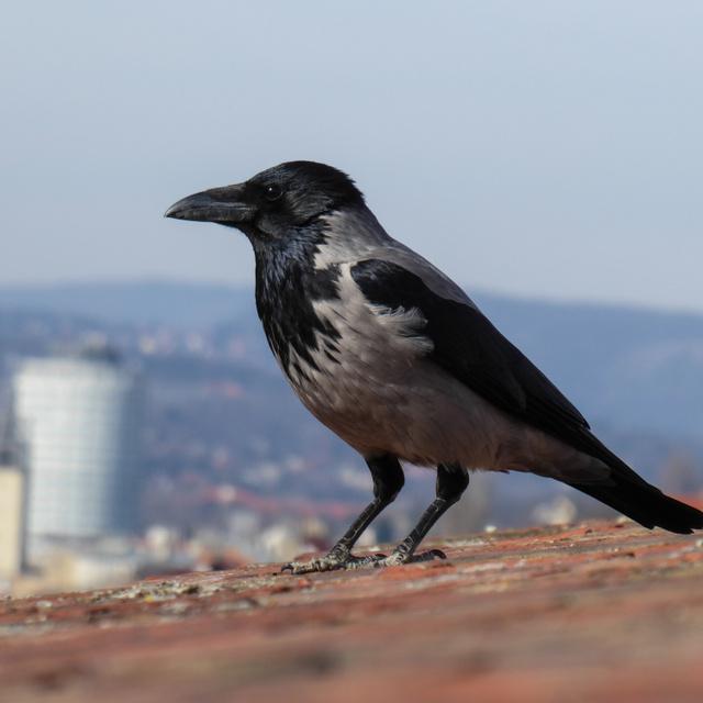 Mit kell tenni, ha megtámad egy varjú? A madártani szakemberek tanácsai