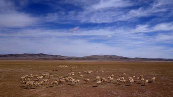 Tilos a dudálás, amíg ellési helyükre vándorolnak a tibeti antilopok