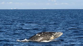Eltévedt Wally, a szürke bálna