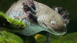 Ez a cuki mexikói víziszörny egész életét lárvaként éli le