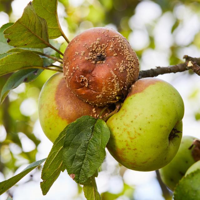 Tönkreteszik a várva várt termést és a fát is: Megyeri Szabolcs kertészt kérdeztük a gyakori gyümölcsfabetegségekről