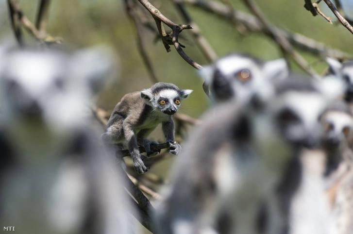 Háromhetes gyűrűsfarkú maki (Lemur catta) figyel egy fáról a Nyíregyházi Állatparkban 2021. május 4-én