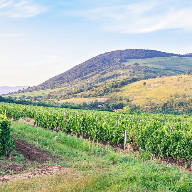 Milyen bor pontosan az egri csillag, és miért jó választás tavasszal? 3 tételt is ajánlunk