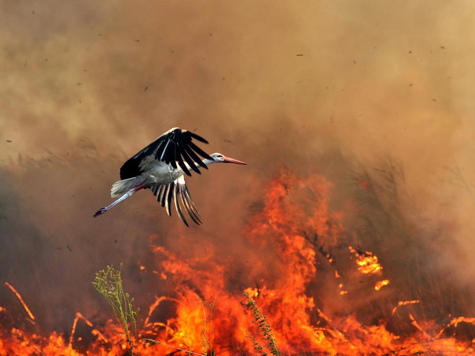 Természet (sorozat) első hely Gergely József (Magyar Szó) - Apokalipszis lovasaiA nyári kánikulában számos tűz keletkezett, amelyek odavonzották a gólyákat, amelyek a tűz nyomán elpusztult rovarokat és más állatokat szedték össze és fogyasztották el.