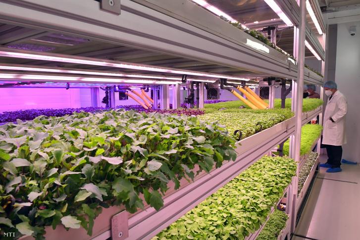 Zöldségnövények fejlődnek mesterséges fényviszonyok között a Tungsram Group vertikális farmján az avatása napján a Tungsram budapesti központjában 2021. május 5-én
