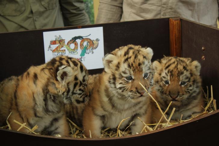 Index - Belföld - Szibériai tigrisek születtek Kecskeméten