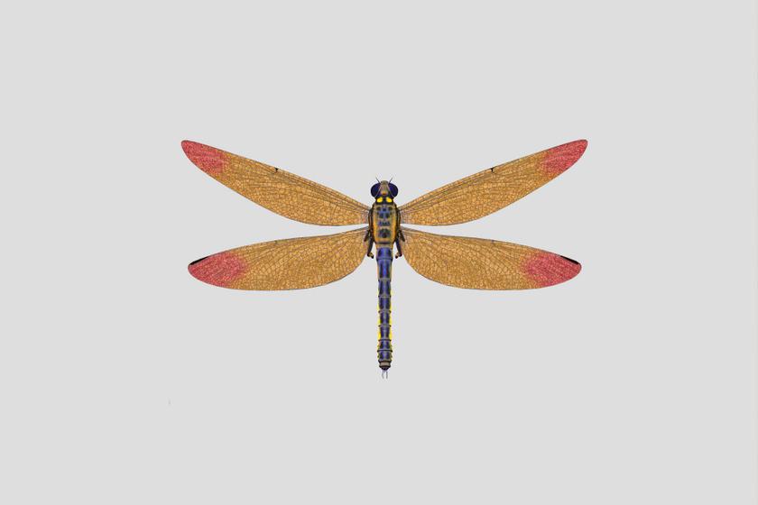 Noha a ma élő szitakötők egy felnőtt ember mutatóujja hosszát sem érik el, a 300-360 millió éve élt ősük, a Meganeura szárnyfesztávolsága elérte a 70 centimétert is.
