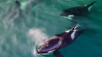 Kardszárnyú delfineket láttak Anglia délnyugati részén