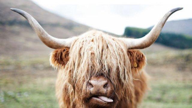 Skót marhák