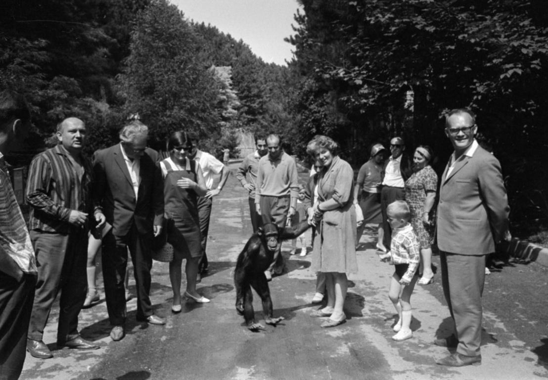 Böbe, minden idők leghíresebb magyar csimpánza a Veszprémi Állatkertben 1967-ben