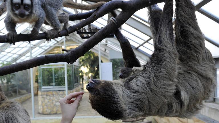 Híres állatkerti szökések – loholni kellett a lajhár után