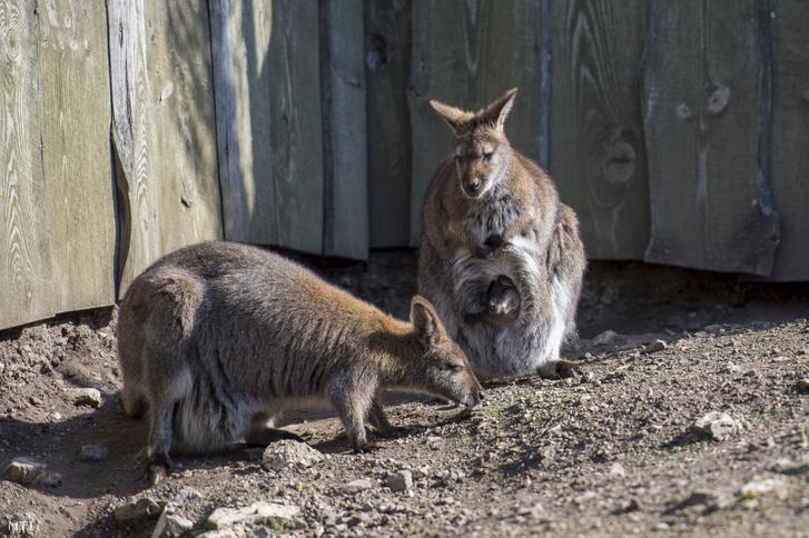 Bennett-kenguruk